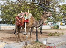 Decoratively decorated camel  with a blanket stands near a meal on the ground. Decoratively decorated camel with a blanket stands near a meal on the ground Royalty Free Stock Images