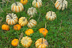 Decoratives squash pumpkins for halloween or thanksgiving Royalty Free Stock Photo