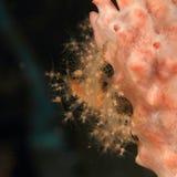 Decorator crab - Achaeus spinosus Stock Images