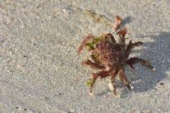 Decorator Crab On Sand Stock Image