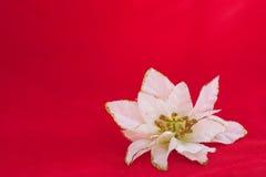 Decorazione bianca del fiore del poinsettia Fotografie Stock