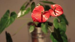 Decorazione dei fiori per la casa e l'ufficio stock footage
