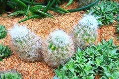Decorazione 2 del cactus Fotografie Stock