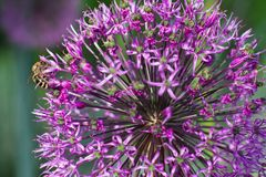 Decorazione del fiore della cipolla Fotografia Stock Libera da Diritti