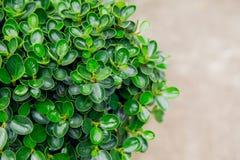 Decorazione del giardino nella foglia della pianta verde della casa immagini stock libere da diritti