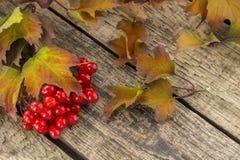 Decorazione di autunno del viburno rosso con le foglie immagini stock