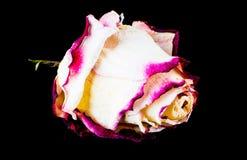 Decorazione di Rosa sulla tavola nera Immagine Stock