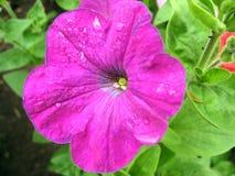 Decorazione lilla del giardino di fiori immagini stock