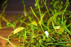 Decorazione verde del fondo dei ramoscelli del vischio di Natale Fotografia Stock Libera da Diritti