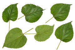 Decorazione verde di macro della foglia della foglia Fotografia Stock