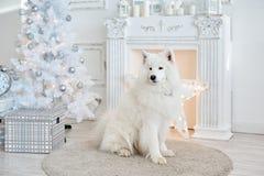 Decorazioni di natale bianco in studio con il cane Immagine Stock