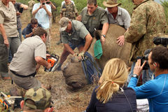 Decornazione di rifinitura di grande rinoceronte dopo dardeggiato Immagini Stock