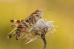 Decorus trasversale in Croazia, Krk di oedaleus della cavalletta fotografia stock