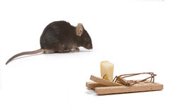 Decoy. Little brown mouse tempted by the cheese in a mouse trap stock images