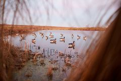 Decoy ducks on a tranquil lake viewed from a hide. Decoy ducks on a tranquil lake viewed from inside a brush hide on the shore during a waterfowl hunt Royalty Free Stock Photo