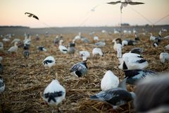 Decoy ducks in a wetland marsh during a hunt Stock Image