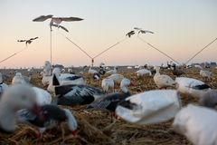 Decoy ducks in wetlands during a waterfowl hunt. Simulating a flock of birds foraging and in flight viewed low angle against a sunset sky royalty free stock photos
