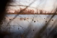 Decoy or dummy waterfowl deployed on a lake Royalty Free Stock Image