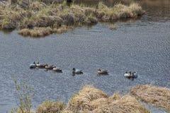 decoy nurkuje jezioro Obraz Royalty Free