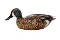 Decoy. Realistic wooden decoy of a duck Stock Image