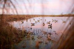 Decoy water birds deployed on a calm lake stock photos