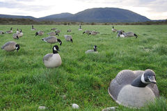 Decoys spread out Royalty Free Stock Photo