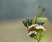 Decticus verrucivorus grasshopper. On a pink flower with drops Stock Images