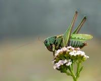 Decticus verrucivorus grasshopper Stock Images