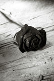 Ded rose Stock Photos