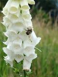 Dedalera blanca en un prado inglés con la abeja Imágenes de archivo libres de regalías