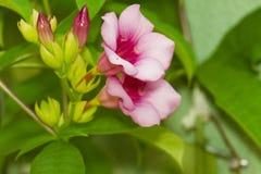 Dedalera rosada, magenta Fotografía de archivo