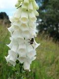 Dedalera salvaje blanca en naturaleza con la flor de polinización de la abeja Foto de archivo