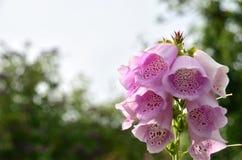 Dedalera suave del rosa del foco Fotografía de archivo