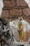 Dedication. Meerkat standing on hind legs and watching for intruders Royalty Free Stock Photos
