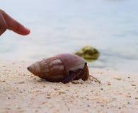 Dedo índice que señala hacia un crustáceo saliendo de un mar Shell en una playa - Caenogastropoda foto de archivo