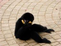 Dedo cortante com crista do Cao-vit Gibbon Imagem de Stock Royalty Free