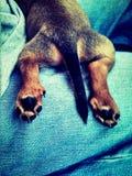 Dedos del pie del perrito Imagenes de archivo
