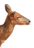 deear πεινασμένος Στοκ Φωτογραφία