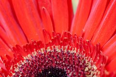 Deel van de close-up het middenhalve cirkel van rode bloemgerbera Mooie bloemenachtergrond met zachte nadruk Stock Afbeelding
