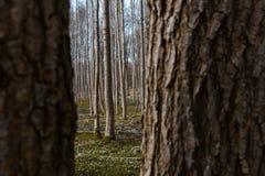 Deens bos tijdens de lente met anemonen in de bosvloer, Zeeland, Denemarken stock afbeelding