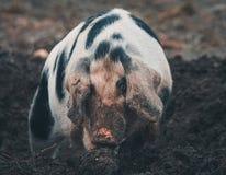 Deens zwart bevlekt varken royalty-vrije stock foto