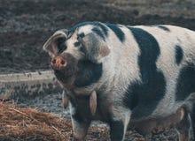 Deens zwart bevlekt varken stock foto