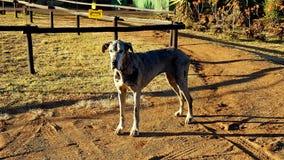 Deense hond Royalty-vrije Stock Foto's