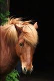 Deense paarden Stock Foto's