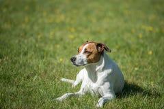 Deense Zweedse Farmdog Royalty-vrije Stock Foto's