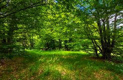 Deep ancient beech forest glade in summer. Deep ancient beech forest glade. beautiful summer scenery Stock Photo