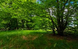 Deep ancient beech forest in summer. Beautiful silent scenery Royalty Free Stock Photography