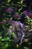 Deep Angelfish (Pterophyllum altum), also known the Orinoco angelfish. Stock Photo