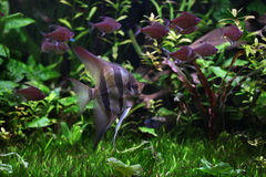 Deep Angelfish (Pterophyllum altum). Stock Photo