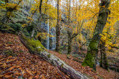 Deep autumnal forest Royalty Free Stock Photo